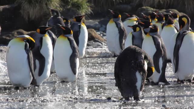 vídeos y material grabado en eventos de stock de king penguins stand in a river during malting season. - pingüino cara blanca