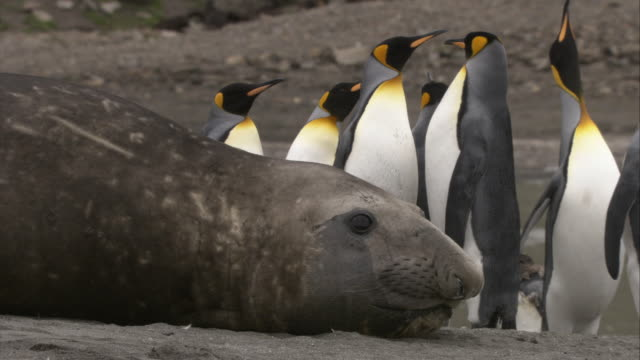 stockvideo's en b-roll-footage met cu, king penguins standing by  elephant seal lying on ground, south georgia island - atlantische eilanden