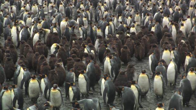 ms, ha, pan, king penguins (aptenodytes patagonicus) standing in rain, south georgia island, falkland islands, british overseas territory - royal penguin stock videos & royalty-free footage