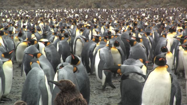 ms, pan, king penguins (aptenodytes patagonicus) standing in rain, south georgia island, falkland islands, british overseas territory - south georgia island stock videos and b-roll footage