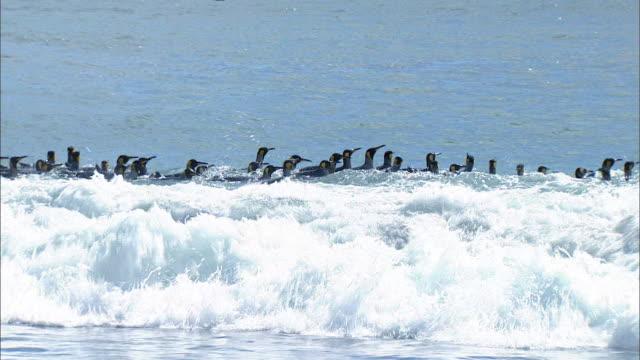 king penguins surfing - royal penguin stock videos & royalty-free footage