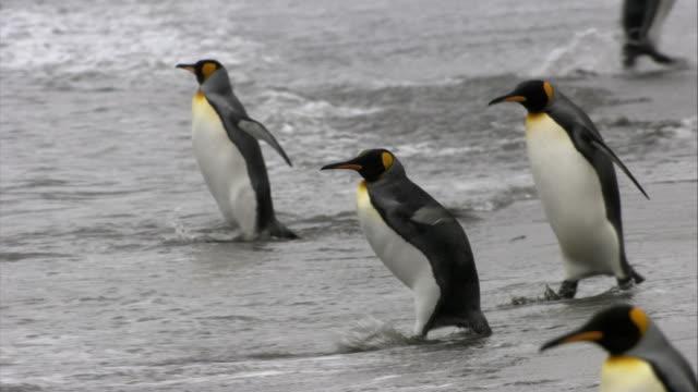 stockvideo's en b-roll-footage met ms, pan, king penguins swimming in ocean, south georgia island - atlantische eilanden