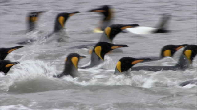 ms, pan, king penguins swimming in shallow water, south georgia island - insel south georgia island stock-videos und b-roll-filmmaterial