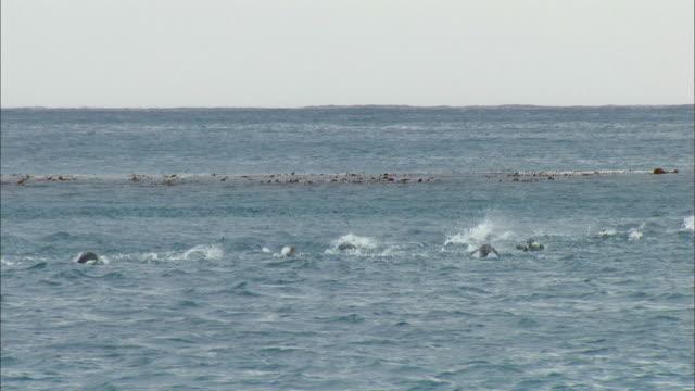 vídeos y material grabado en eventos de stock de king penguins swimming on the surface of water - pingüino cara blanca