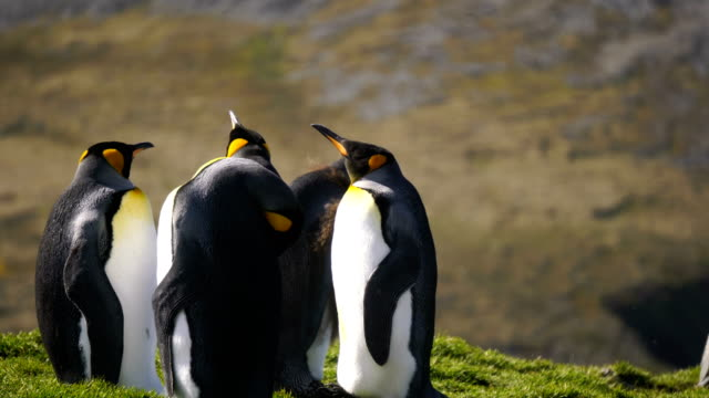 king penguins - named wilderness area stock videos & royalty-free footage