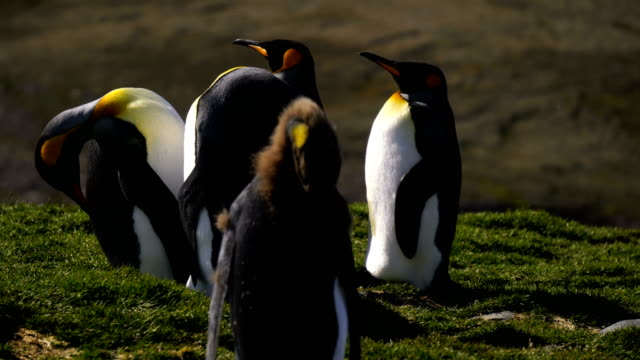 king penguins - group of animals stock videos & royalty-free footage
