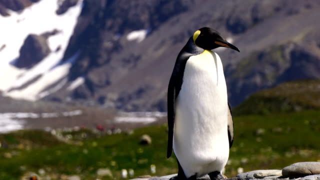 vídeos de stock e filmes b-roll de king penguins - ilha geórgia do sul