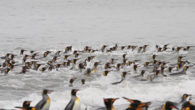king penguins - 40 seconds or greater stock videos & royalty-free footage