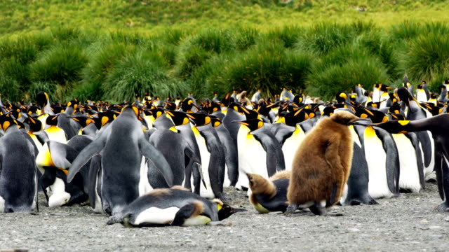 king penguins - south georgia island stock videos and b-roll footage