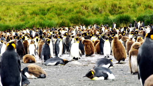 king penguins - south pole stock videos and b-roll footage