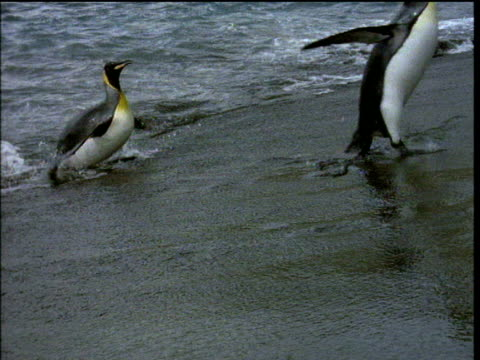 king penguins waddle ashore, one stumbles as waves lap against them, antarctica - king tide stock videos & royalty-free footage