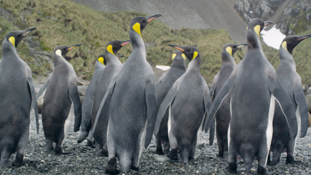 king penguins waddle up beach, south georgia - penguin stock videos & royalty-free footage