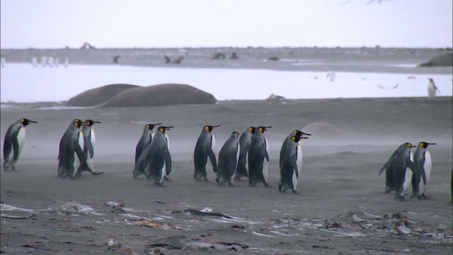 king penguins waddling at south georgia island - waddling stock videos and b-roll footage