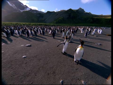 vídeos y material grabado en eventos de stock de king penguins walk around on a beach. - pingüino cara blanca