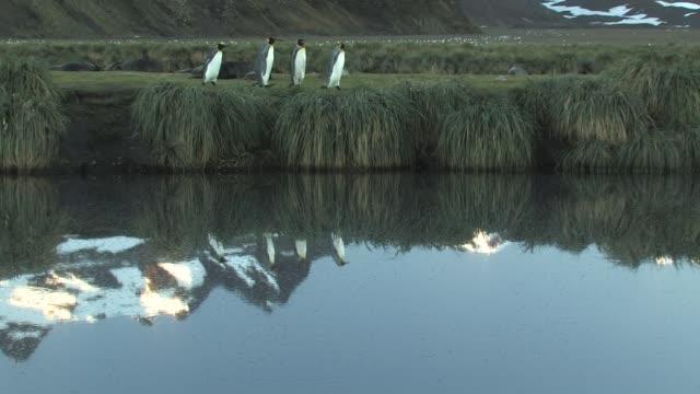 ms, pan, king penguins (aptenodytes patagonicus) walking along pond, southern fur seals (arctocephalus gazella) lying in background, south georgia island, falkland islands, british overseas territory - south georgia island stock videos & royalty-free footage