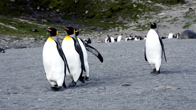 king penguins walking on beach shingle at st. andrew's bay - st andrews bay stock videos & royalty-free footage