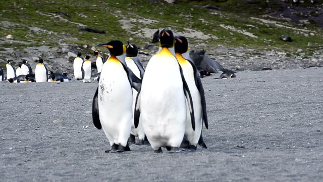 king penguins walking on beach shingle at st. andrew's bay - animal family stock videos and b-roll footage