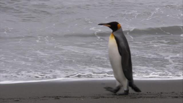 stockvideo's en b-roll-footage met ms, king penguins walking on beach, south georgia island - atlantische eilanden