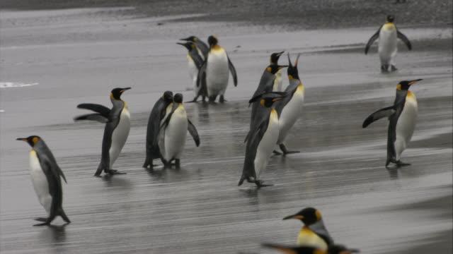 stockvideo's en b-roll-footage met ms, pan, king penguins walking on beach, south georgia island - atlantische eilanden