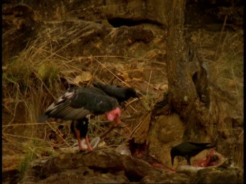 vidéos et rushes de ms king vulture, sarcogyps calvus, with carcass, bandhavgarh national park, india - quatre animaux