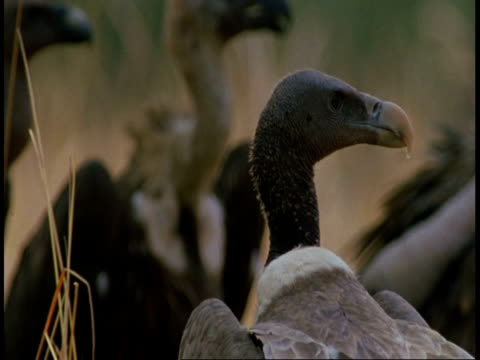 cu king vultures, sarcogyps calvus, heads, bandhavgarh national park, india - vier tiere stock-videos und b-roll-filmmaterial