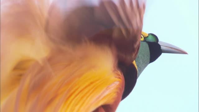 kingbird spreading its wings on a tree in papua new guinea island - 動物の翼点の映像素材/bロール