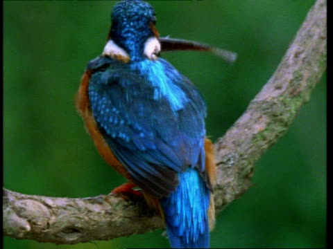 cu kingfisher, alcedo atthis, dives for fish, returns swallows fish, england, uk - perch fish stock videos and b-roll footage