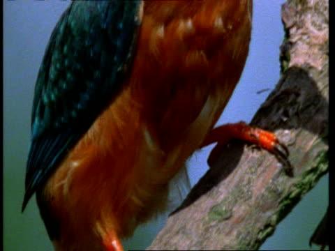 vídeos de stock e filmes b-roll de cu kingfisher, alcedo atthis, feet gripping branch, tilt up to head, england, uk - vista inclinada