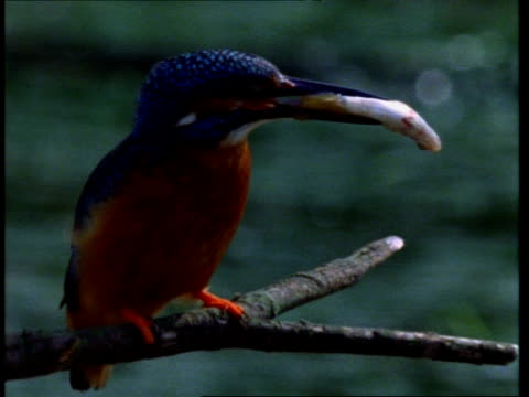cu kingfisher, alcedo atthis, fish in beak, takes off from branch, england, uk - perch fish stock videos and b-roll footage