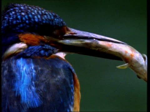 CU Kingfisher, Alcedo atthis, fish in mouth, England, UK