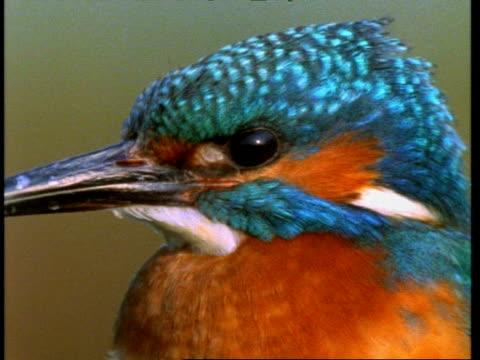 bcu kingfisher, alcedo atthis, head and beak, england, uk - tierfarbe stock-videos und b-roll-filmmaterial