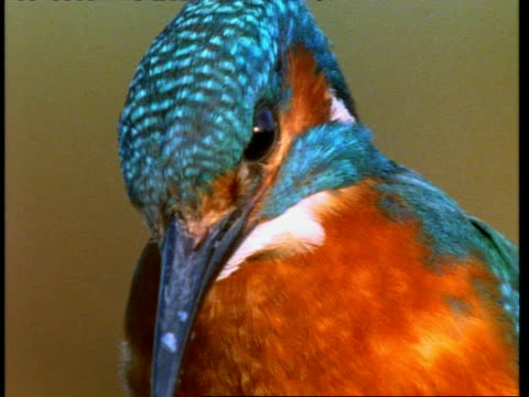 bcu kingfisher, alcedo atthis, head and beak, england, uk - animal markings stock videos & royalty-free footage