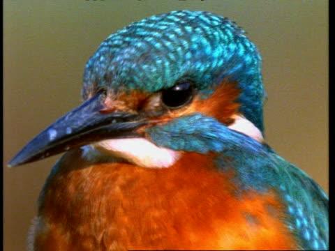 cu kingfisher, alcedo atthis, head and beak, england, uk - animal markings stock videos & royalty-free footage