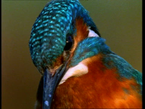 bcu kingfisher, alcedo atthis, head, england, uk - animal markings stock videos & royalty-free footage