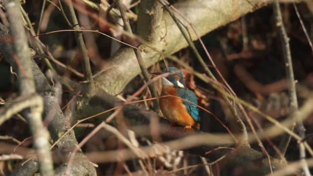 a kingfisher, alcedo atthis, is perching on a branch. - perching stock videos & royalty-free footage