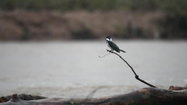eisvogel vogel: erwachsene weibliche crested eisvogel (megaceryle lugubris) - tierkörper stock-videos und b-roll-filmmaterial