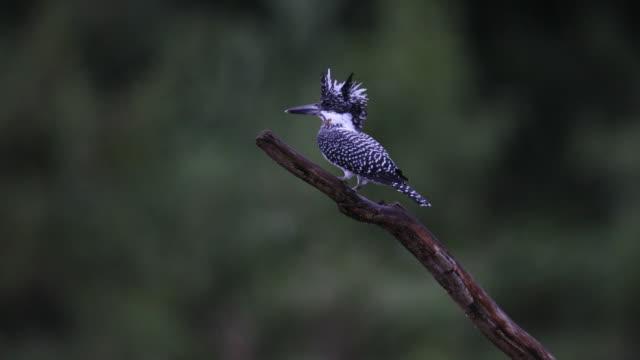 カワセミの鳥: 成人男性ヤマセミ (megaceryle 日) - 枝点の映像素材/bロール