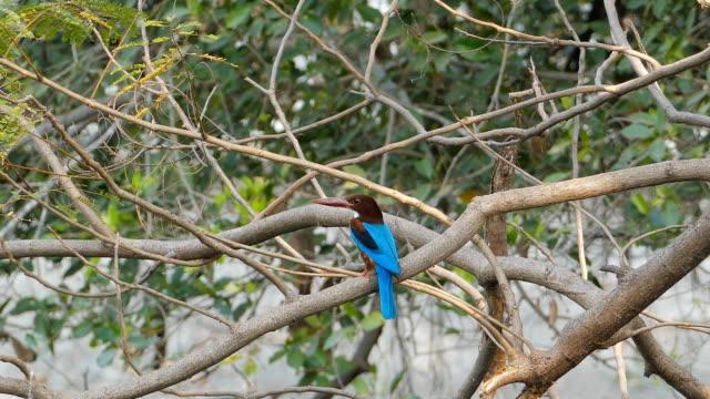 kingfisher bird. - zoology stock videos & royalty-free footage