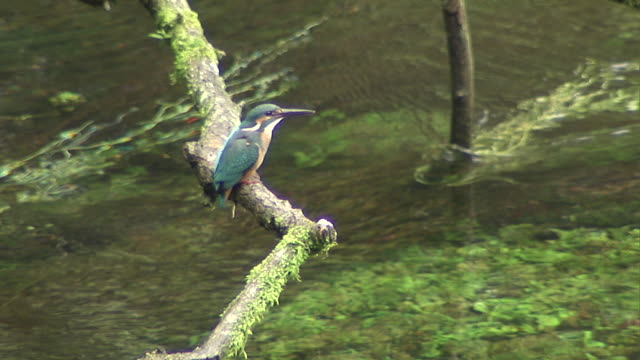 kingfisher eating fish - water bird stock videos & royalty-free footage