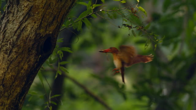 a kingfisher flying to its nest on an oak tree - bird's nest stock videos & royalty-free footage