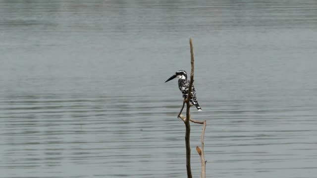 vídeos y material grabado en eventos de stock de kingfisher foot - área silvestre