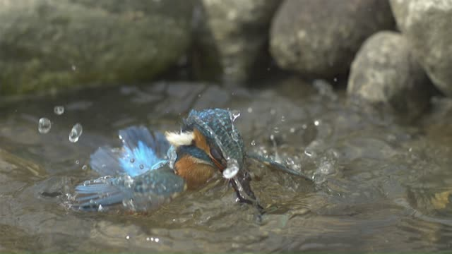 vidéos et rushes de a kingfisher hunting and flying over the surface of the water in a river upstream - nouvelle vie