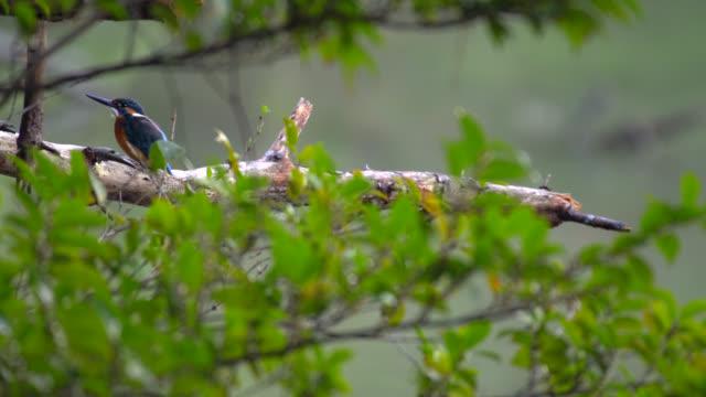 vídeos de stock e filmes b-roll de kingfisher - wildlife 4k - peixe congelado