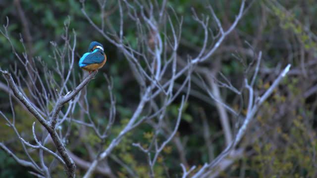 kingfisher - wildlife in 4k - hamamatsu stock videos and b-roll footage