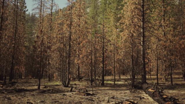 kings canyon nationalpark, kalifornien - riesenmammutbaum stock-videos und b-roll-filmmaterial