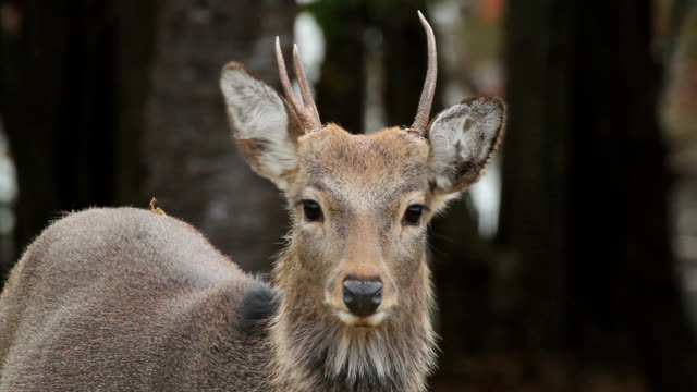 Kinkazan island Sika Deer