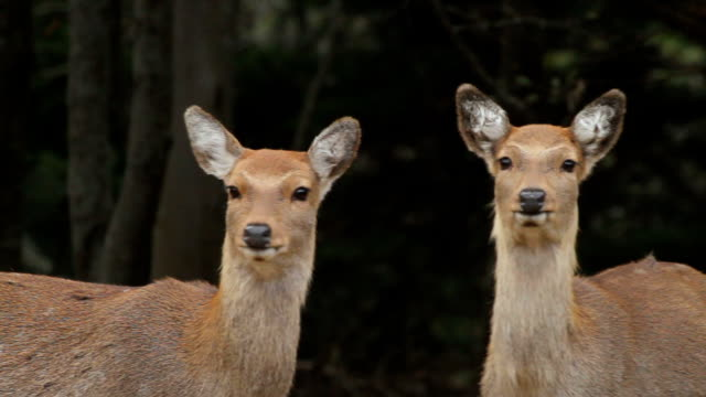 kinkazan island sika deer - alertness stock videos & royalty-free footage