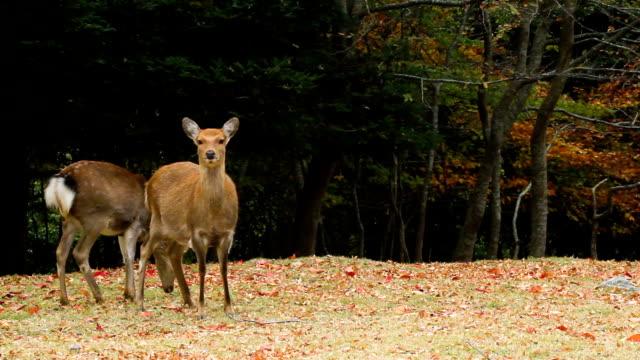 kinkazan island sika deer - deer stock videos & royalty-free footage