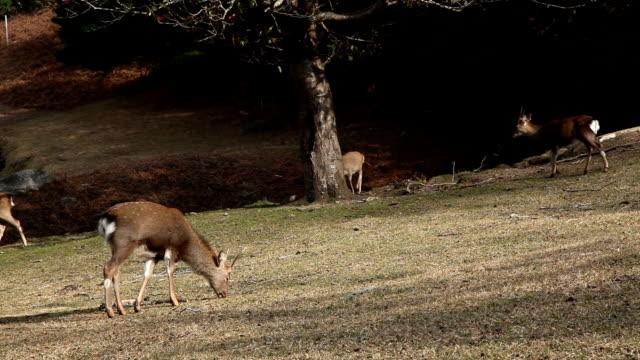 vídeos de stock, filmes e b-roll de kinkazan island sika deer - grupo pequeno de animais