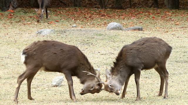 Kinkazan island Sika Deers fighting